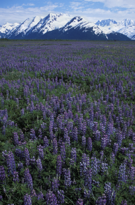 Lupine, Alaska-Stock Photography ~ Outdoor Photography ~ Nature Photography by Brian Jorg/www.brianjorg.com