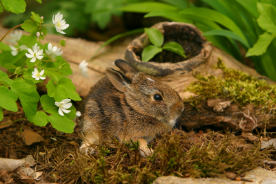 Cottontail Rabbit Stock Photography ~ Stock Wildlife Photography  by Brian F Jorg